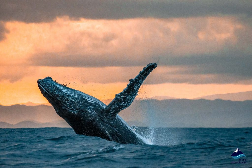 Humpback watching tour in Iceland