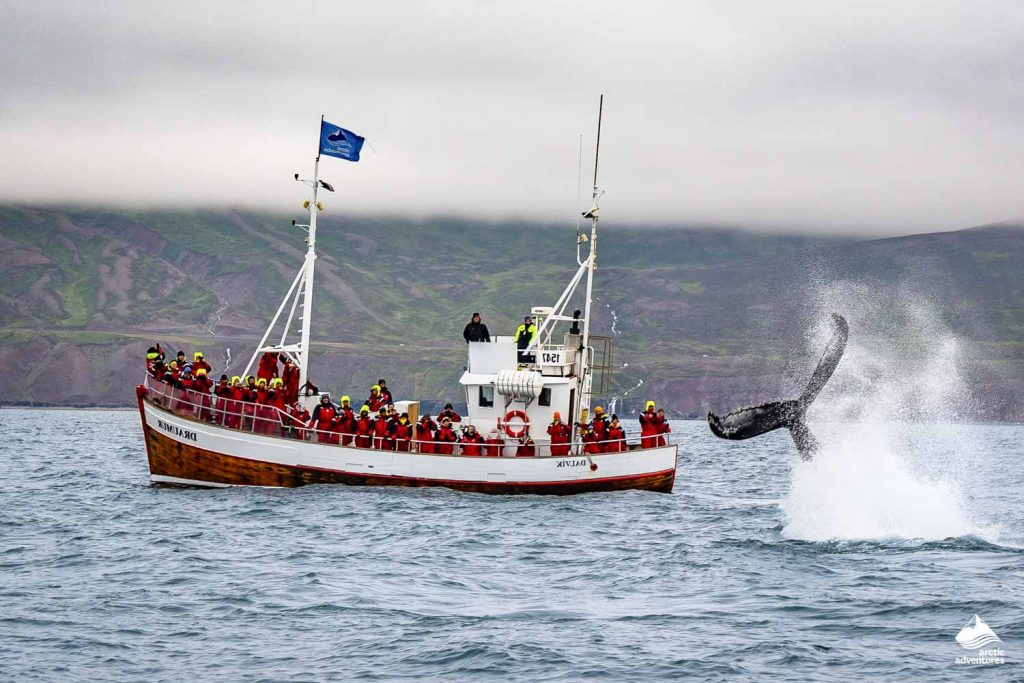 Boat and humpback whale breaches