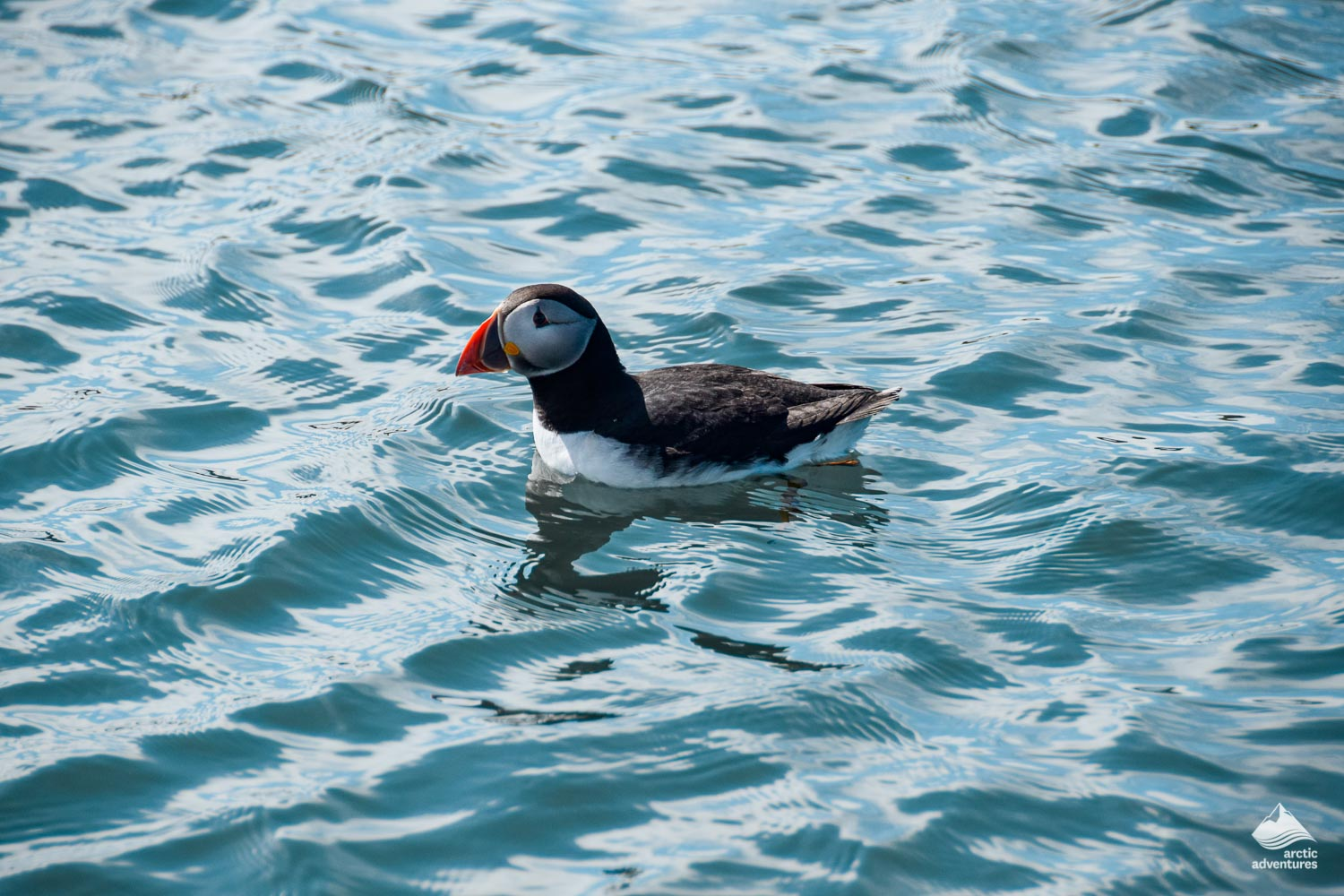 Lone Atlantic puffin floating