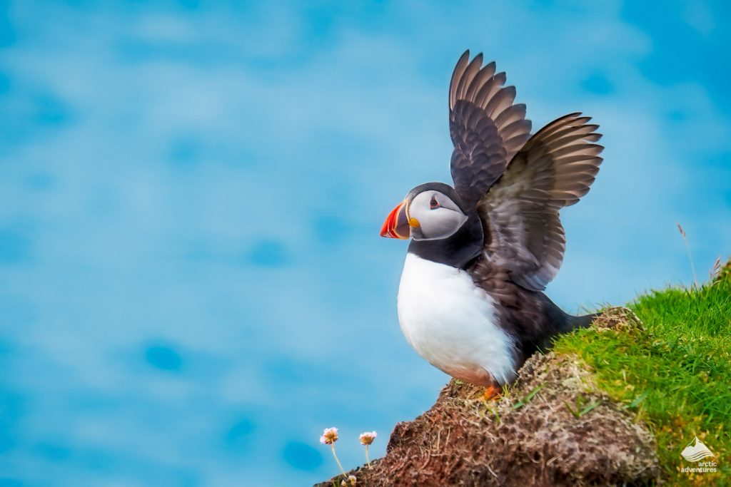 Puffin on Grimsey flapping its wings