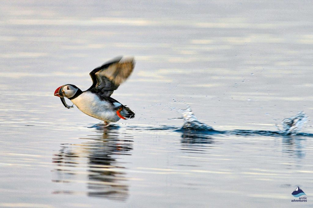 Puffin skids across the water