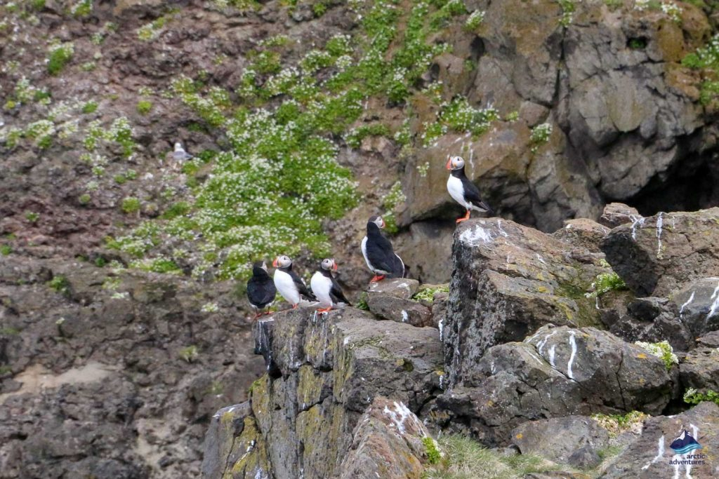 A group of puffins on cluster of rocks