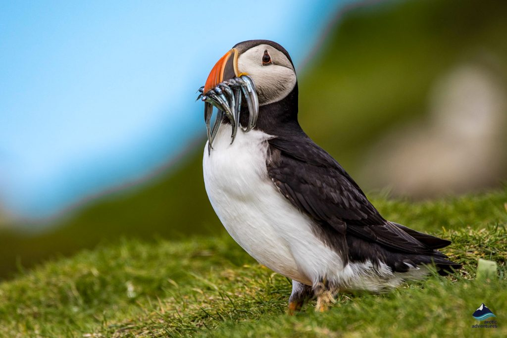 Puffin caught fish