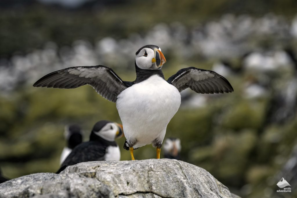 Puffin stands flapping its wings