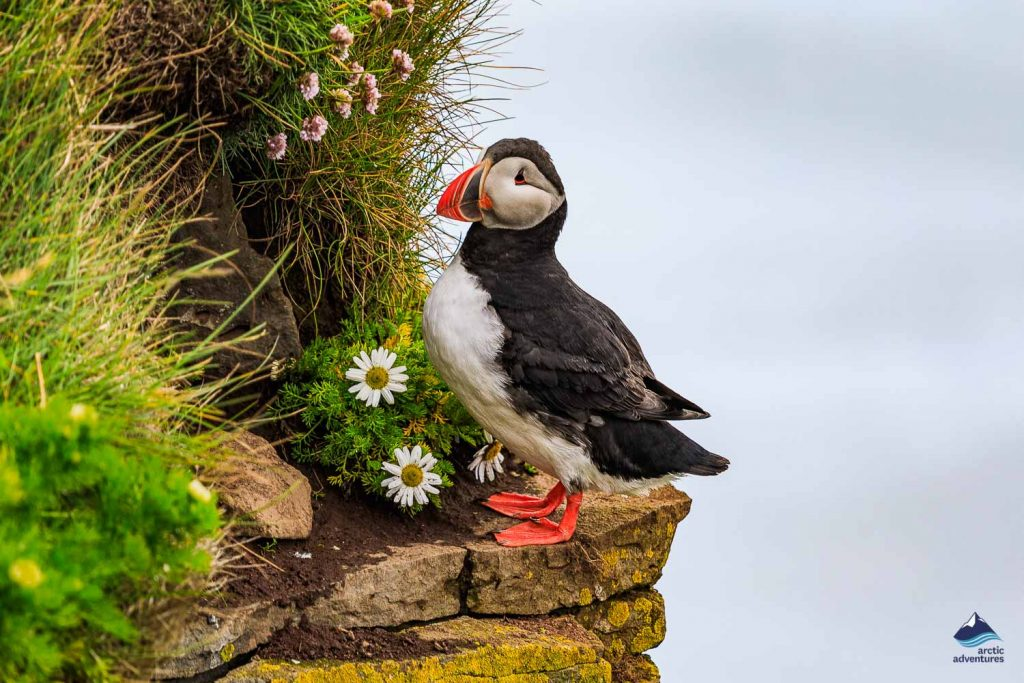 Puffing perches on cliff edge