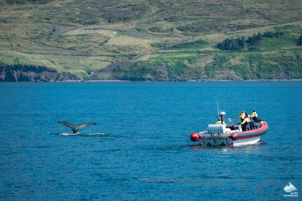 Humpback whale watching from a rib boat tour