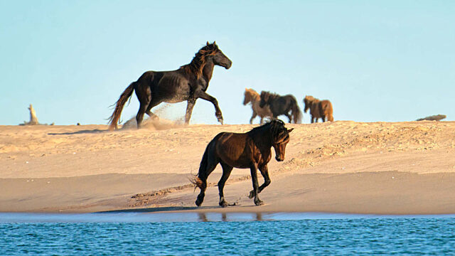 Feature photo sable island horses sand dunes