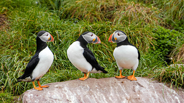 three puffins standing on rock