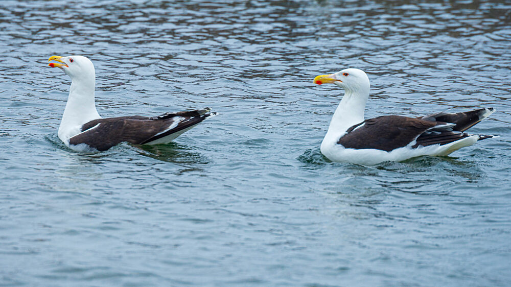 Pair of great black backed gulls swimming