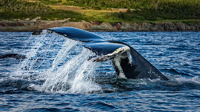 Humpback whale tail with markings
