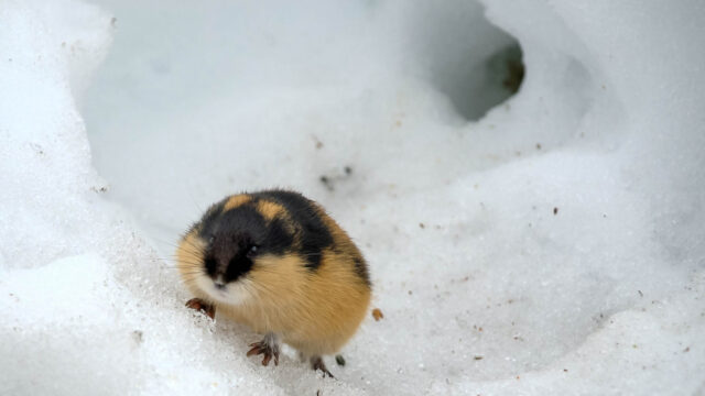 Norway lemming in snow photo by kgleditsch Wikimedia Commons CC BY SA 2 0