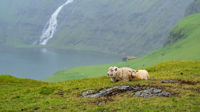 Sheep in front of Greenland waterfall