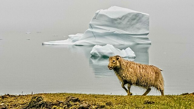 Sheep in front of iceberg