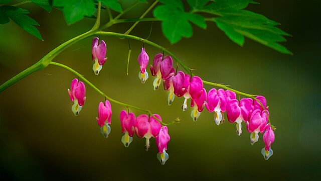 Bleeding hearts flowers Reford Gardens