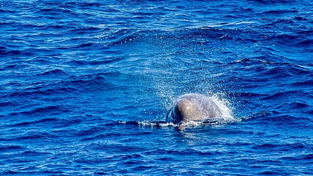 Bottlenose whale the gully