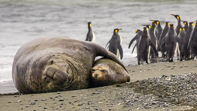 Bull and cow elephant seals