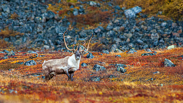 Caribou with antlers Ramah Bay Torngat Mountains