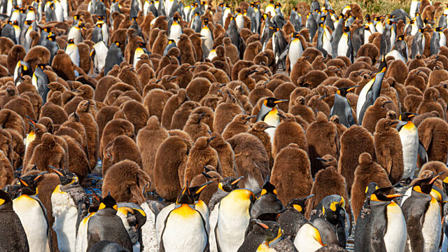 Colony of adult chick kind penguins