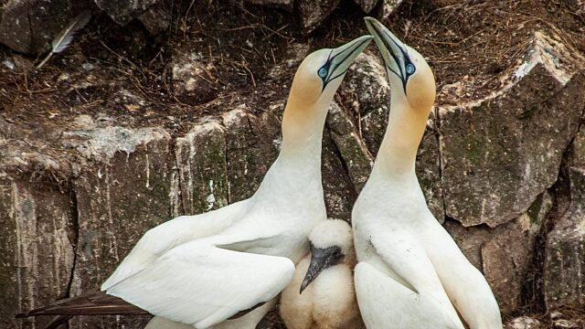 Gannet seabirds with chick