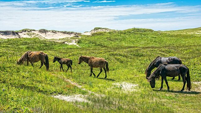 Grazing horses and colts
