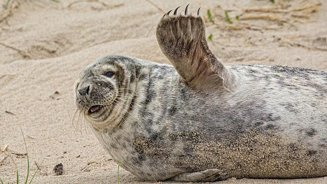 Grey seal waving flipper