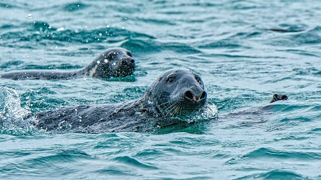 Grey seals swimming