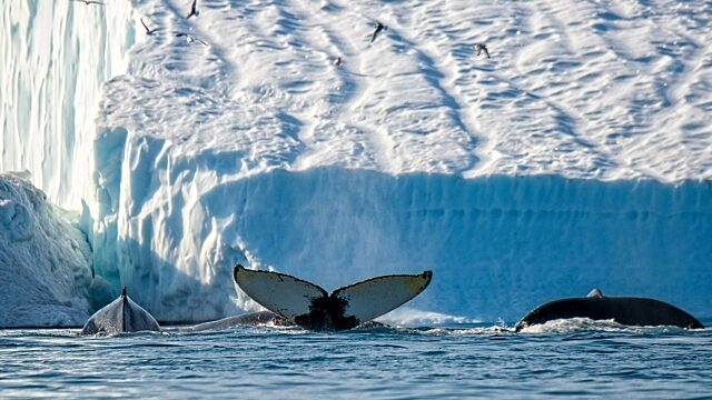 Humpback whales in front of large iceberg