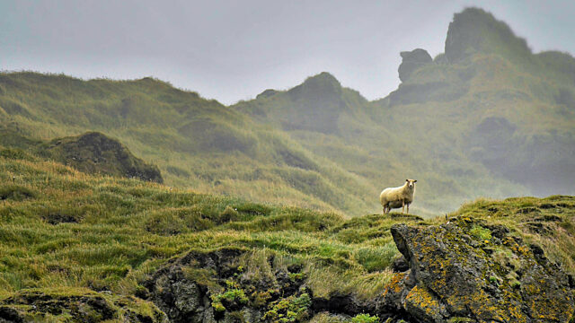 Iceland sheep hills