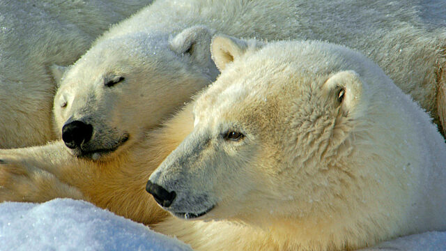 Polar bear mother cub Churchill Manitoba