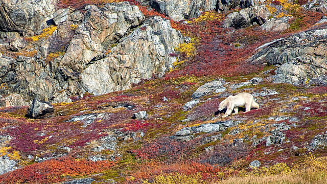 Polar bear on nunatsiavut mountain