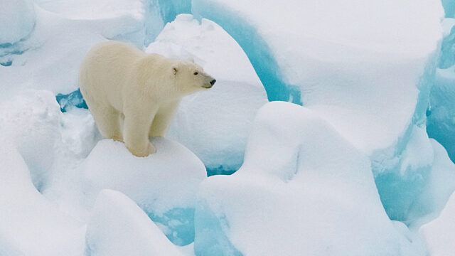Polar bear standing on ice