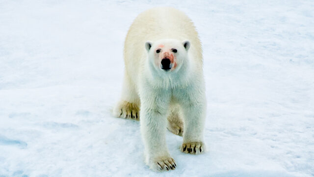 Polar bear with bloody nose