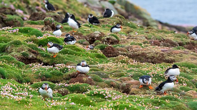 Puffins and burrows