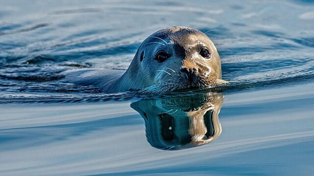 Seal looking up from water surface