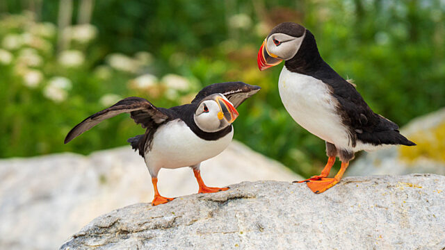 Two puffins standing on rock