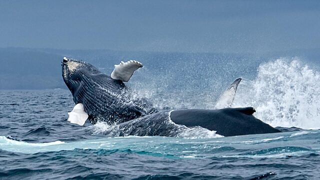 Whales breaching Grand Banks