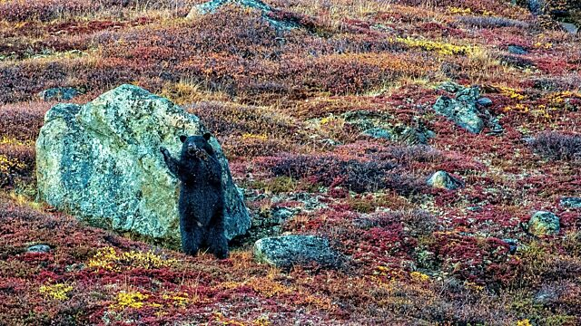Brown bear ramah bay Torngat Mountains national park