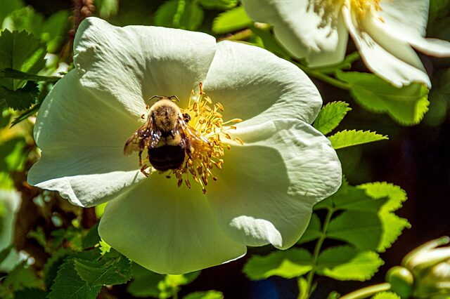 Reford gardens bee on white flower