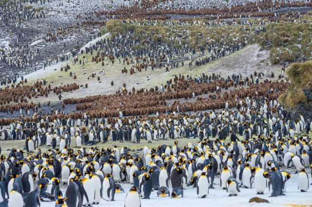 King penguin colony with chicks