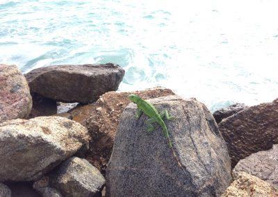 Aruba-Green-Iguana