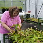 Joyce Belcher, director of UK's Lake Cumberland 4-H Educational Center, examines an American chestnut seedling that was grown in the center's new greenhouse. The facility will be used for educational purposes.