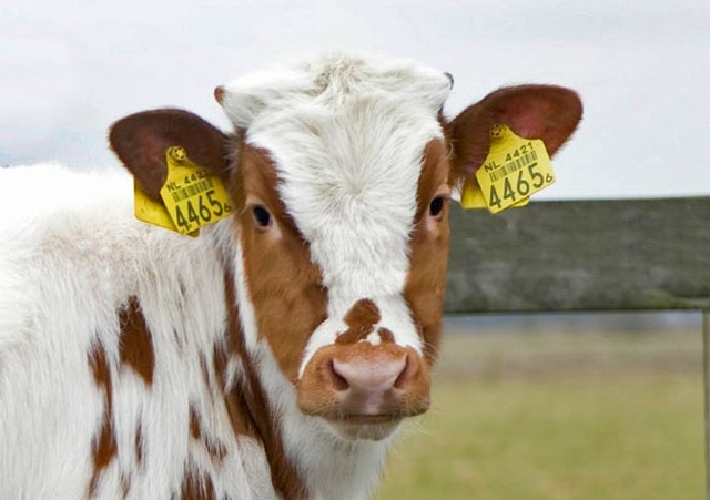 cattle electronic ear tags