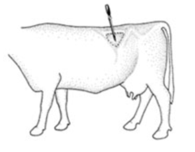 Preventing And Managing Bloat In Cows