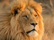 Earthbound Lion