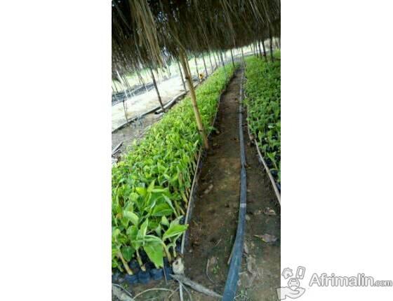 Materiel vegetal