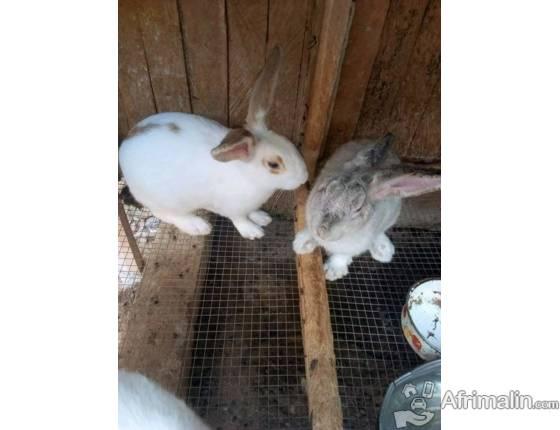 Gros lapins en vente