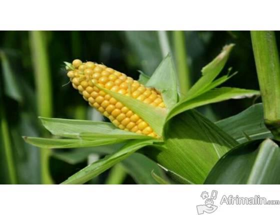 Producteur de Maïs et de legume