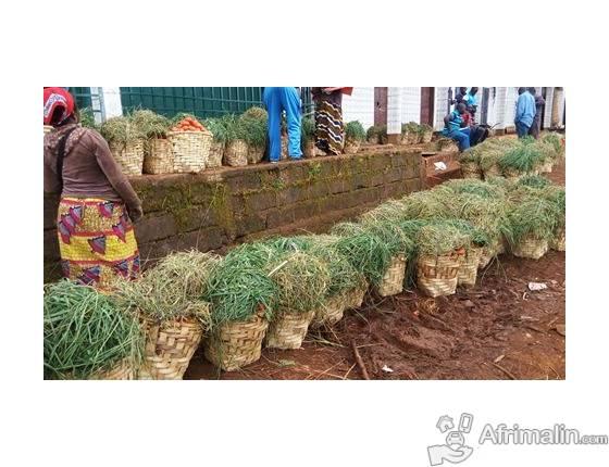 Cageot de tomate de Foumbot Cameroun