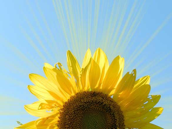 sunflower-sunbeam-sky