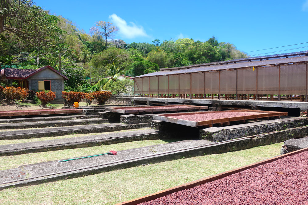 Cacao beans drying in the sun at Belmont Estate